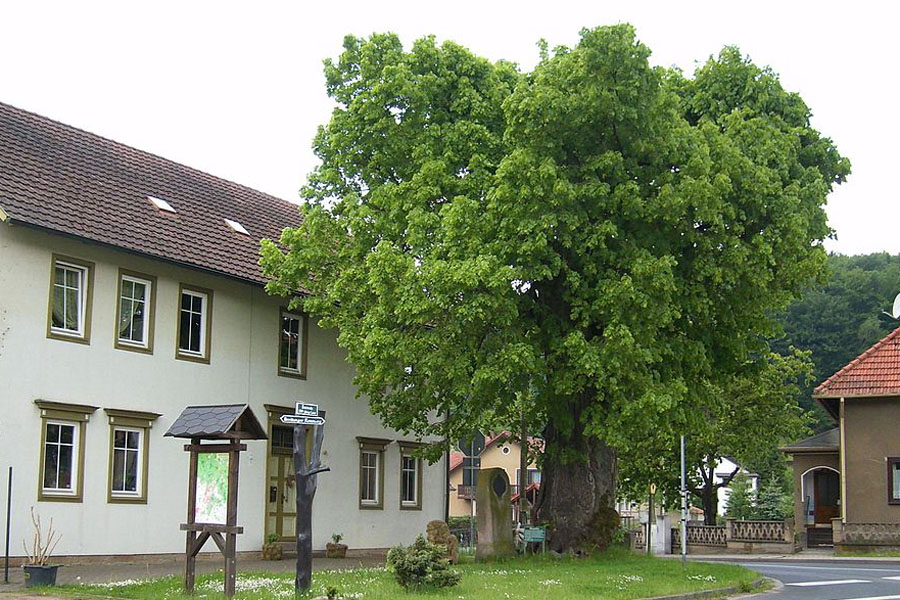 1000-jährige Linde Bairoda